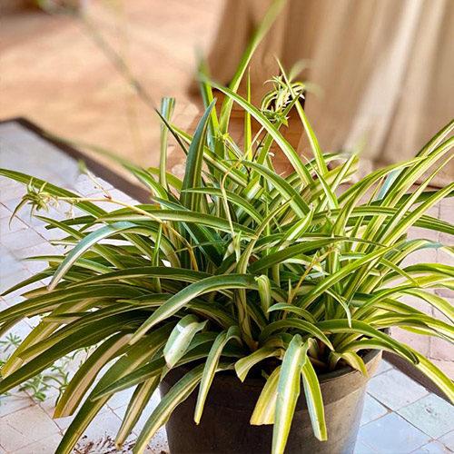 plant Naturel